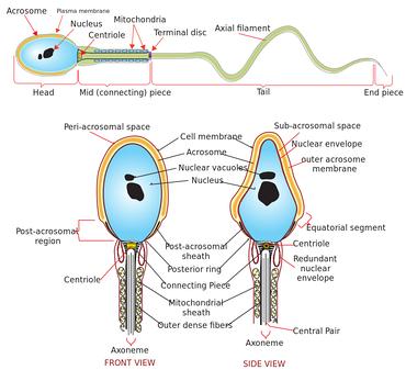 im370-527px-Complete_diagram_of_a_human_spermatozoa_en.svg