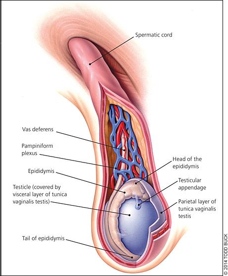 Vasectomy reversal sperm presence